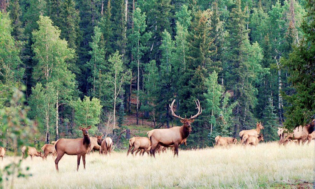 Elk pine grove